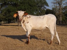 RM Miss Kitty BULL CALF TAG 913