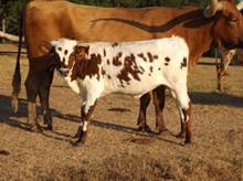 RJF DARK CHERRY HEIFER TAG 912